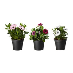 OSTEOSPERMUM potted plant, African daisy assorted colours Diameter of plant pot: 10.5 cm Height of plant: 25 cm