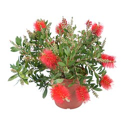 CALLISTEMON CITRINUS potted plant, bottlebrush Diameter of plant pot: 17 cm Height of plant: 40 cm