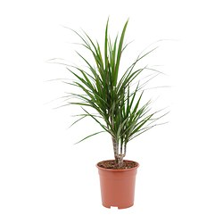 DRACAENA MARGINATA potted plant, 2-stem, Dragon tree Diameter of plant pot: 17 cm Height of plant: 60 cm