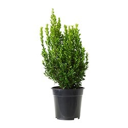 BUXUS SEMPERVIRENS potted plant, bush, Box Diameter of plant pot: 21 cm Height of plant: 50 cm