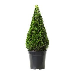 BUXUS SEMPERVIRENS potted plant, pyramid, Box Diameter of plant pot: 21 cm Height of plant: 45 cm
