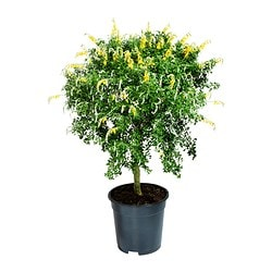 CYTISUS RACEMOSUS potted plant, stem, Broom Diameter of plant pot: 17 cm Height of plant: 65 cm