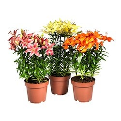 LILIUM potted plant, Lily Diameter of plant pot: 19 cm Height of plant: 55 cm