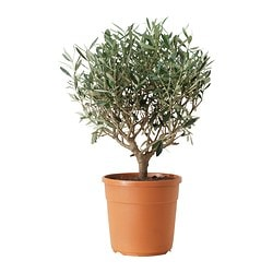 OLEA EUROPAEA potted plant, stem, Olive tree Diameter of plant pot: 22 cm Height of plant: 45 cm