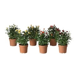ROSA potted plant, Rose Diameter of plant pot: 17 cm Height of plant: 40 cm