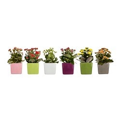 STOLLIG potted plant with pot, Kalanchoe Length of plant pot: 12 cm Width of plant pot: 12 cm Height of plant: 30 cm