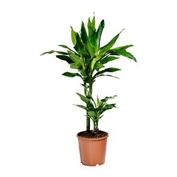 DRACAENA JANET LIND potted plant Diameter of plant pot: 17 cm Height of plant: 70 cm