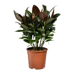 FICUS ELASTICA potted plant, stem Diameter of plant pot: 19 cm Height of plant: 55 cm
