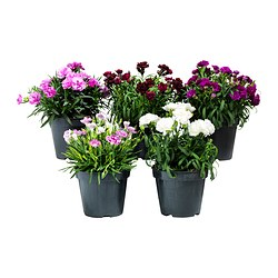 DIANTHUS potted plant, carnation assorted colours Diameter of plant pot: 14 cm Height of plant: 20 cm