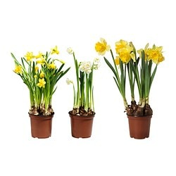 NARCISSUS potted plant, assorted Diameter of plant pot: 14 cm Height of plant: 20 cm