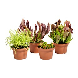 GRÖNSKAN potted plant, assorted, carnivorous Diameter of plant pot: 12 cm Height of plant: 20 cm
