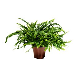 NEPHROLEPIS potted plant, Boston fern Diameter of plant pot: 17 cm Height of plant: 40 cm