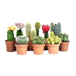 CACTACEAE potted plant, assorted Diameter of plant pot: 10.5 cm