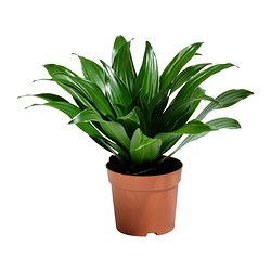 DRACAENA JANET CRAIG potted plant Diameter of plant pot: 10.5 cm Height of plant: 20 cm