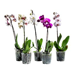 PHALAENOPSIS plante, orkide, 1 stamme