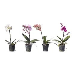 PHALAENOPSIS potted plant, Orchid assorted colours Diameter of plant pot: 9 cm Height of plant: 40 cm