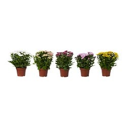 CHRYSANTHEMUM potted plant, Chrysanthemums assorted colours Diameter of plant pot: 14 cm Height of plant: 30 cm