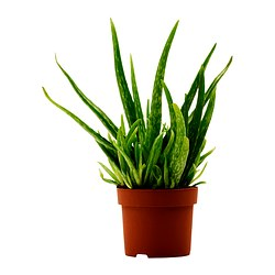 ALOE VERA potted plant Diameter of plant pot: 12 cm Height of plant: 35 cm