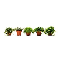 HIMALAYAMIX potted plant, assorted Diameter of plant pot: 12 cm Height of plant: 15 cm
