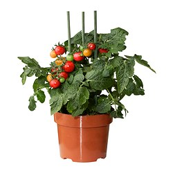 LYCOPERSICON ESCULENTUM TOMATO potted plant Diameter of plant pot: 15 cm Height of plant: 45 cm