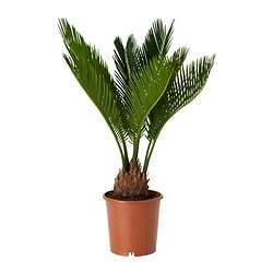 CYCAS REVOLUTA potted plant, sago palm Diameter of plant pot: 12 cm Height of plant: 35 cm