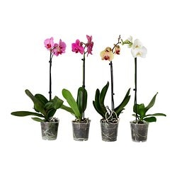 PHALAENOPSIS potted plant, Orchid assorted colours