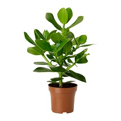CLUSIA potted plant Diameter of plant pot: 12 cm Height of plant: 30 cm