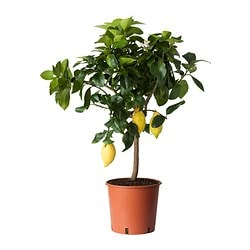 CITRUS potted plant, lemon Diameter of plant pot: 21 cm Height of plant: 65 cm