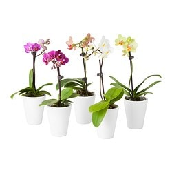PHALAENOPSIS potted plant with pot, assorted colours, Orchid Diameter of plant pot: 6 cm Height of plant: 25 cm
