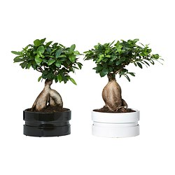 FICUS MICROCARPA GINSENG, Plant with pot, bonsai, assorted colors