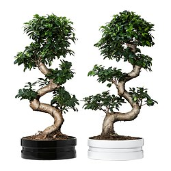 FICUS MICROCARPA GINSENG potted plant with pot, assorted colours, bonsai Diameter of plant pot: 39 cm Height of plant: 90 cm
