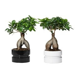 FICUS MICROCARPA GINSENG potted plant with pot, assorted colours, bonsai Diameter of plant pot: 14 cm Height of plant: 30 cm