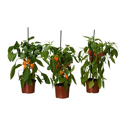 CAPSICUM ANNUUM potted plant, pepper assorted Diameter of plant pot: 14 cm Height of plant: 40 cm
