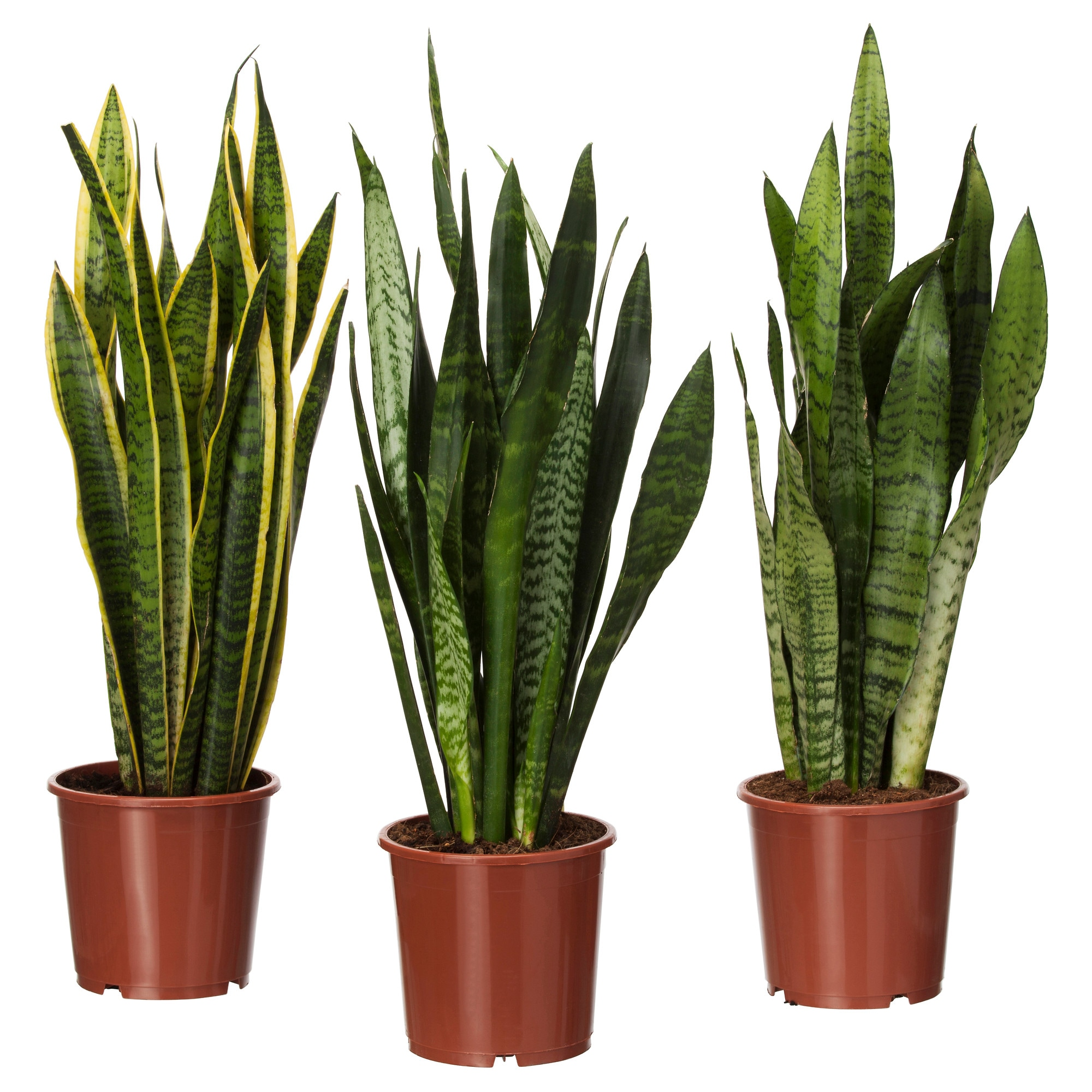 Sansevieria Trifasciata Potted Plant Mother In Law S Tongue