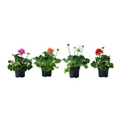 PELARGONIUM potted plant, Geranium assorted colours, outdoor Diameter of plant pot: 12 cm Height of plant: 20 cm