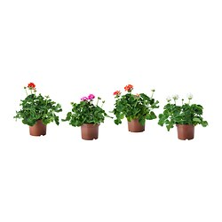 PELARGONIUM potted plant, Geranium assorted colours, outdoor Diameter of plant pot: 19 cm Height of plant: 40 cm