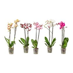 PHALAENOPSIS potted plant, 2 stems, Orchid Diameter of plant pot: 12 cm Height of plant: 60 cm