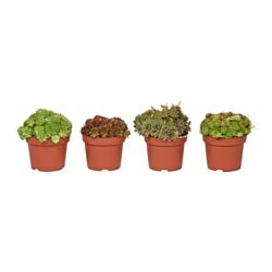 SEMPERVIVUM potted plant, assorted, Houseleek Diameter of plant pot: 12 cm Height of plant: 15 cm