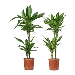 DRACAENA potted plant, 2-stem, assorted Diameter of plant pot: 19 cm Height of plant: 85 cm