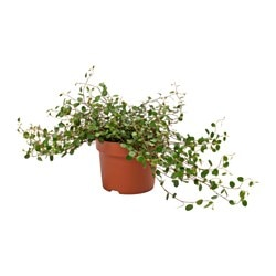 MUEHLENBECKIA potted plant, Wire plant Diameter of plant pot: 12 cm Height of plant: 12 cm