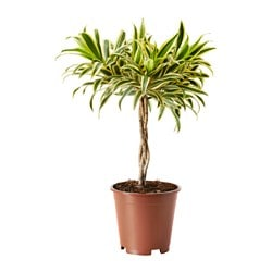 DRACAENA 'SONG OF INDIA' pianta da vaso Diametro vaso: 17 cm Altezza pianta: 50 cm