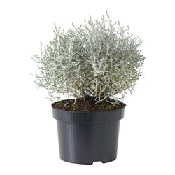 CALOCEPHALUS BROWNII potted plant Diameter of plant pot: 12 cm Height of plant: 20 cm