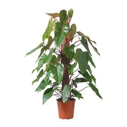 PHILODENDRON RED EMERALD pianta da vaso Diametro vaso: 24 cm Altezza pianta: 115 cm