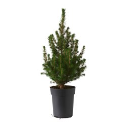 PICEA GLAUCA CONICA potted plant, White spruce Diameter of plant pot: 14 cm Height of plant: 38 cm