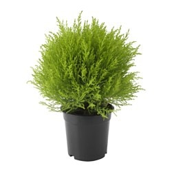 CUPRESSUS MACROCARPA potted plant, ball, cypress Diameter of plant pot: 17 cm Height of plant: 40 cm