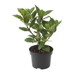 LAURUS NOBILIS potted plant, Bay laurel Diameter of plant pot: 10.5 cm Height of plant: 24 cm