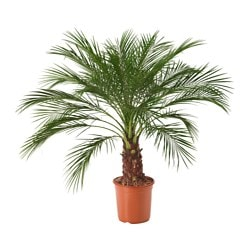 PHOENIX ROEBELENII potted plant, Pygmy Date Palm Diameter of plant pot: 24 cm Height of plant: 110 cm