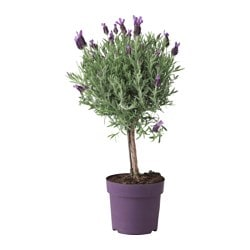 LAVANDULA potted plant, stem, Lavender Diameter of plant pot: 14 cm Height of plant: 45 cm