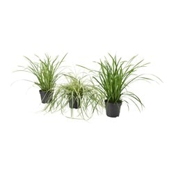 CAREX potted plant, assorted, sedge Diameter of plant pot: 17 cm Height of plant: 40 cm