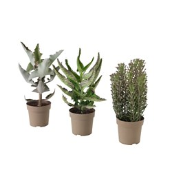 KALANCHOE MADAGASCAR potted plant, assorted Diameter of plant pot: 15 cm Height of plant: 35 cm